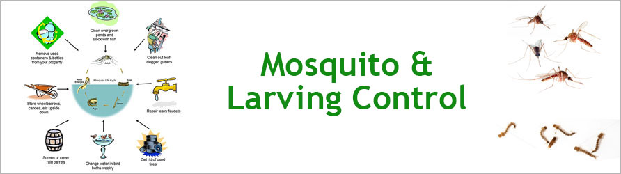 Mosquito and Larving